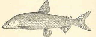Gravenche, ausgestorben im frühen 20. Jahrhundert. Abb.: Wikimedia Commons, Illustration in the book Fresh-Waters Fishes of Europe. A History of their Genera, Species, Structure, Habits and Distribution by Harry Govier Seeley